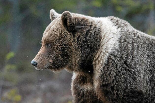 Björnen går med bestämda steg fram till åteln, cirka 50 meter från gömslet.