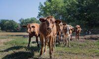 Granne klagade på luktande kor i hagen