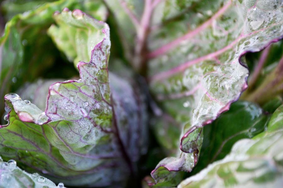 Kålväxterna kan vara de vackraste av alla och står sig fina under delar av vintern.