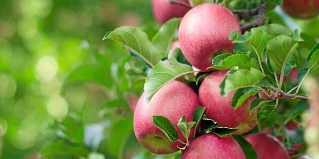 Ingen fara för äppelskörden trots värmen – men se upp för ohyran!