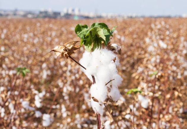 De vanligaste GMO-grödorna är majs, soja, raps och bomull.