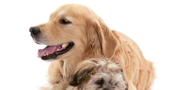 Lindra hundens smärtsamma artros
