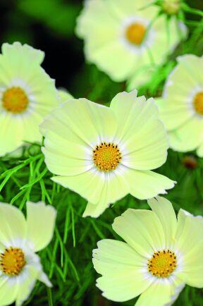Rosenskära 'Lemonade' får milt blekgula blommor som ljusnar mot mitten. Rikblommande på kompakta plantor. Utmärkt i kruka och användbar som snittblomma. Så inomhus i mars-april eller direkt på friland i maj. Rara växter.