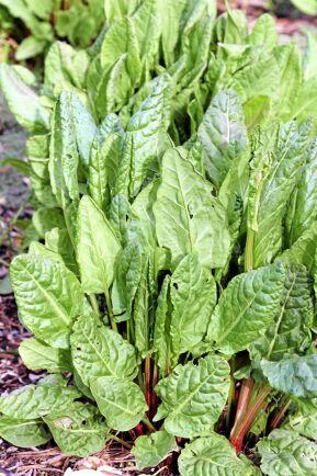 Trädgårdssyra (Rumex rugosus) Bladen har en syrlig smak och är lätt krispiga. Unga blad blandade med mildare bladsorter spännande och god sallad. Halvstora blad bäst i varma rätter och soppor. Foto: IBL.