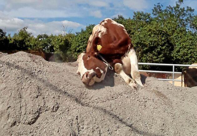 Kon Lena gillar verkligen grushögen.