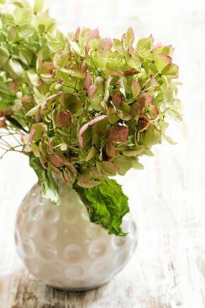 Torka hortensia och njut av dem hela vintern.