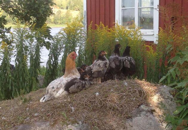 Räven var på besök i hönsgården förra året. Nu har man kläckt fram en ny liten flock, men nästa år planeras inköp av kycklingar till köttproduktion.