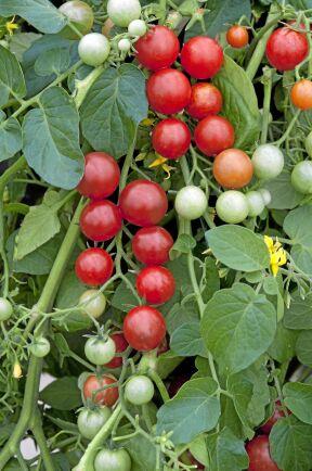 Körsbärstomat 'Micro Cherry' växer bäst om rankorna får hänga från amplar eller höga krukor. Får mängder av små tomater med söt smak. Så inomhus i februari-april. Weibulls.