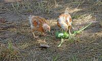 Grönsaker ska ge kycklingen ny smak