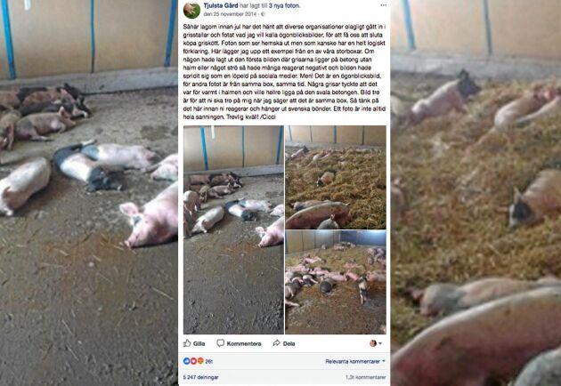 Grisskötaren Cecilia Olander la upp bilder på Facebook från stora grisboxen på Tjusta Gård för att visa hur bilden på grisarna på betonggolvet skulle kunna misstolkas.