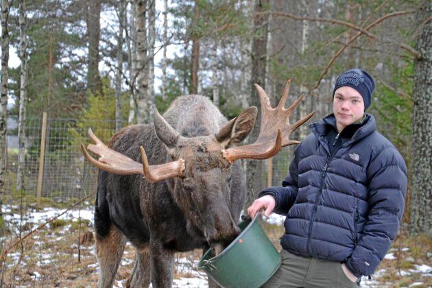 Erik Öster med älgparkens största tjur, Micke 6 år.