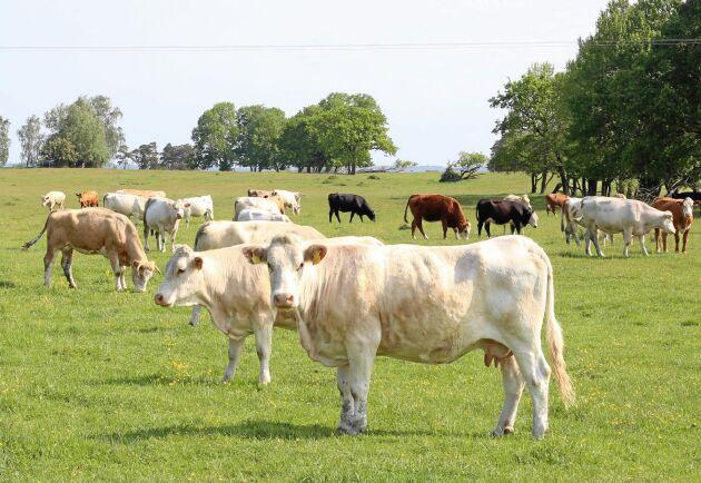 Blåtunga upptäcktes i Sverige första gången 2008. Efter ett intensivt vaccineringsarbete förklarades Sverige fritt från blåtunga 2010.