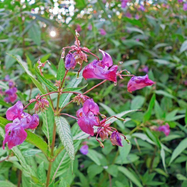 Högväxt och invasiv praktbalsamin.