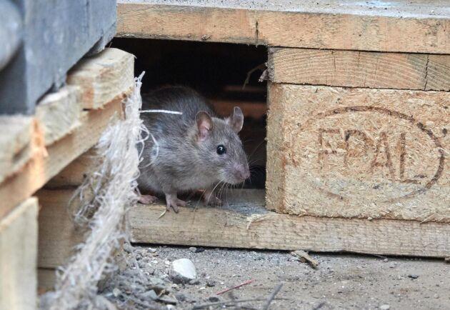 De som behöver bekämpningsmedel för att bli av med råttor måste nu antingen anlita någon med eller själv skaffa tillstånd. Något som i sig blivit svårare sedan Folkhälsomyndigheten ställt in utbildningarna för behörighetsklass 1 So på grund av den rådande pandemin.