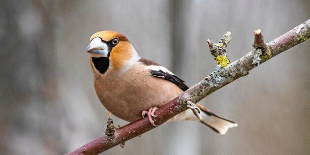 Fåglarnas favoritmat – det ska du bjuda dem på