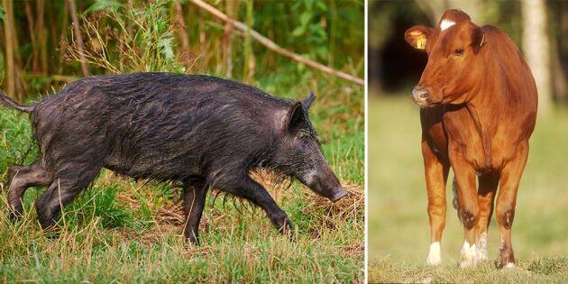 Missade vildsvin – sköt dräktig kviga