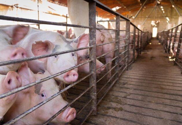 35 000 grisar i veckan slaktas i normala fall på Danish Crowns anläggning i Ringsted.
