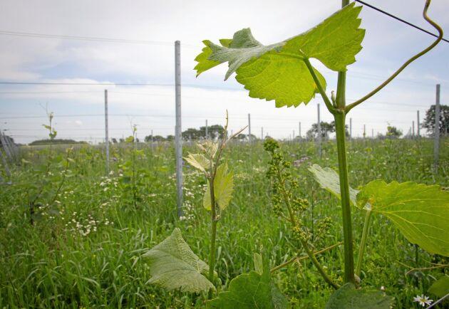Vinstockarna trivs i jordarna på Kullaberg.