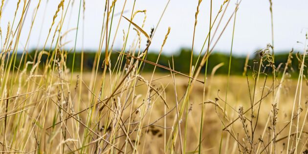 Franska jordbruket svårt torkdrabbat