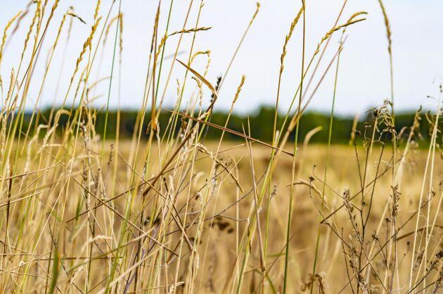 Torkan har drabbat franska bönder i hela landet. Bilden är inte från Frankrike.
