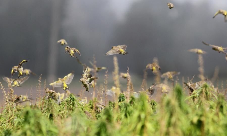 Sparat ogräs är mums för grönfinkar och andra fåglar. Foto: PETTER HALDÉN