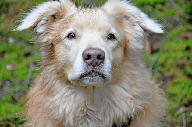 Barkborrehunden Lias är en renrasig tollare.