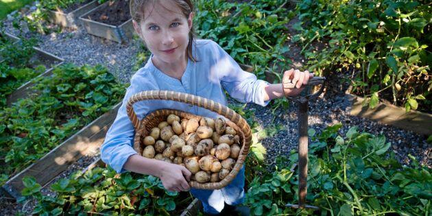 STOR GUIDE! Sätta potatis – bästa sorterna och alla odlingsknepen