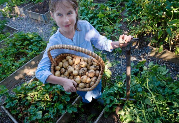 Från liten jordig knöl till en hel korg full. Lär dig konsten att odla potatis.