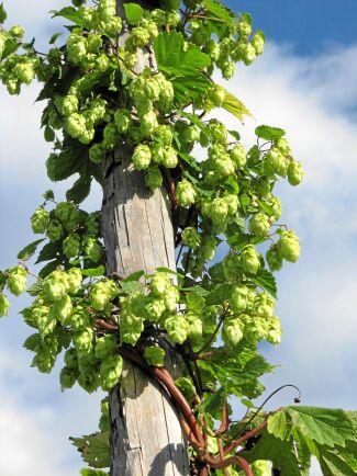 Humle behöver rejäla växtstöd, minst 4-5 meter höga. Slingrande kring en klassisk humlestör kommer den till sin rätt.