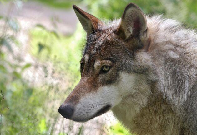 Det finns två vargar i Långbogenreviret men det finns en chans att de kan ha fått valpar men än har inga valpar setts. Arkivbild.
