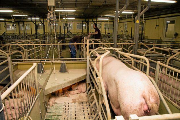 Även i danska välfärdskoncept är det tillåtet att stänga in suggan med skyddsgrind under fyra dygn i samband med grisning. Åtgärden ska säkra fler överlevande smågrisar och ge personalen en säkrare arbetsmiljö i boxen.