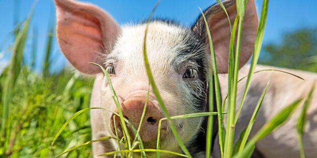 Danska grishotet bekymrar inte Sverige