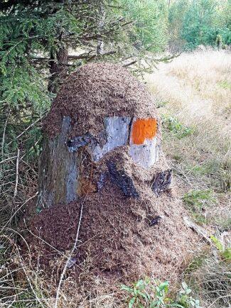 Vid vandringsleden Sevedeleden i Vimmerby kommun har myrorna börjat bygga höghus.