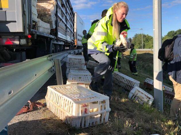 Räddningstjänsten i Jönköping fick rycka ut, sedan hundratals höns hamnat på vägen längs riksväg 40.