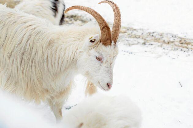Lappgeten är en lantras som tål snö och kyla.