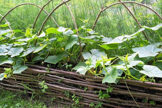 Med en ram av slanor håller sig hügelbädden på plats.