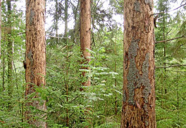 Skogsstyrelsen får 2,2 miljoner kronor extra av regeringen för att bekämpa granbarkborren.