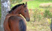 Brutala lemlästningar av hästar i Frankrike