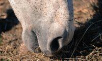 Oklart om otjänligt hästkött nått Sverige
