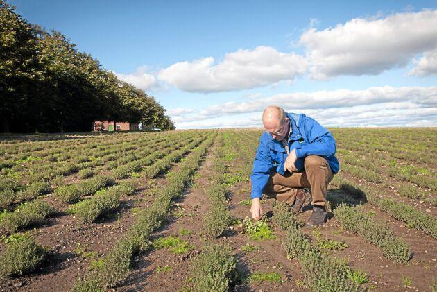 Olof Christerson rycker ogräs i timjanodlingen.