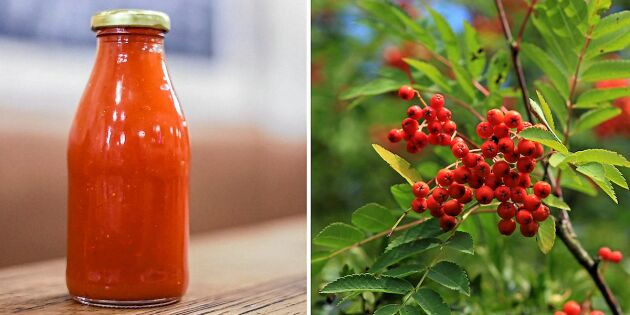 Så gör du ketchup av rönnbären