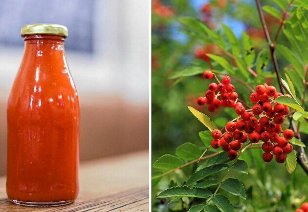 Gör sin egen ketchup – av rönnbär!