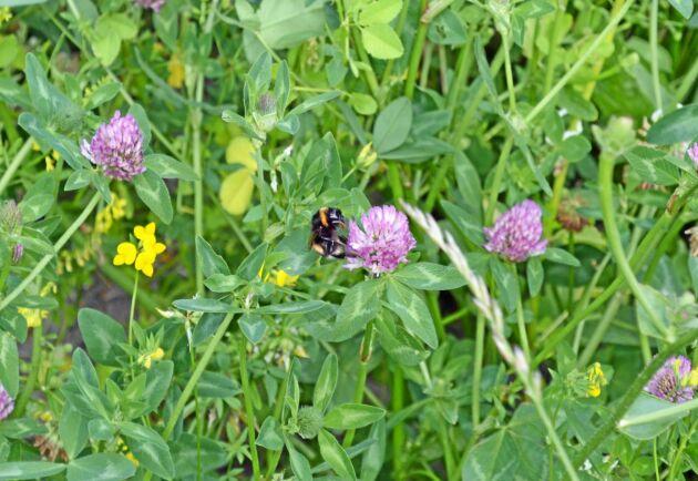 Den gula sötväpplingen, rödklövern och käringtanden lockar pollinerarna med sin nektar.