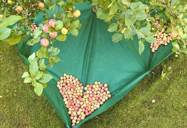 Skördenät som hindrar frukten från att ramla ner på marken.
