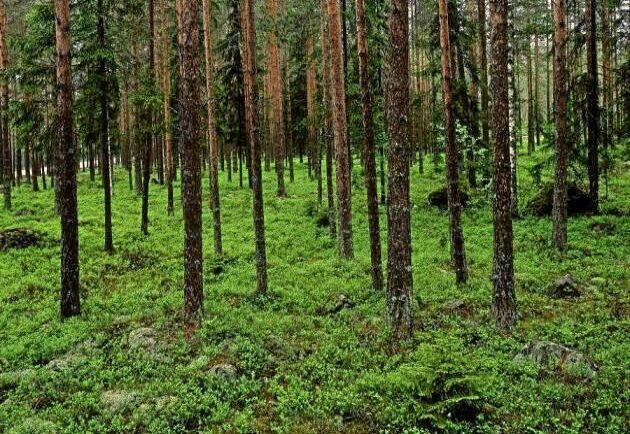 Marken bör vara av blåbärstyp. Den får inte vara för bördig, för torr eller ha för tjockt humustäcke. Undvik finkorniga jordar med risk för uppfrysning. Sådd lämpar sig bäst i norra Sverige, i södra Sverige behövs en skärm för att hålla tillbaka gräset. Skärmen ger samtidigt ett extra tillskott av frö.