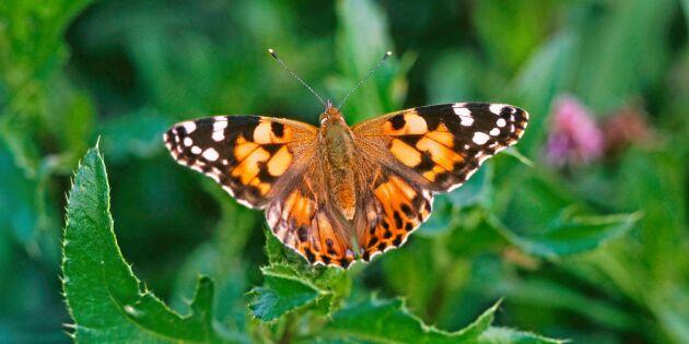 Därför vimlar det av fjärilar i trädgården i år