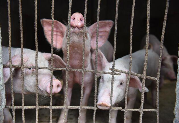Grisar på en kinesisk grisfarm.