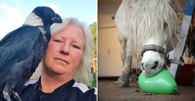 Alla arter kan tränas med hjälp av klicker, även korpen Sven. Och en häst kan se en pangande ballong som vägen till belöning.