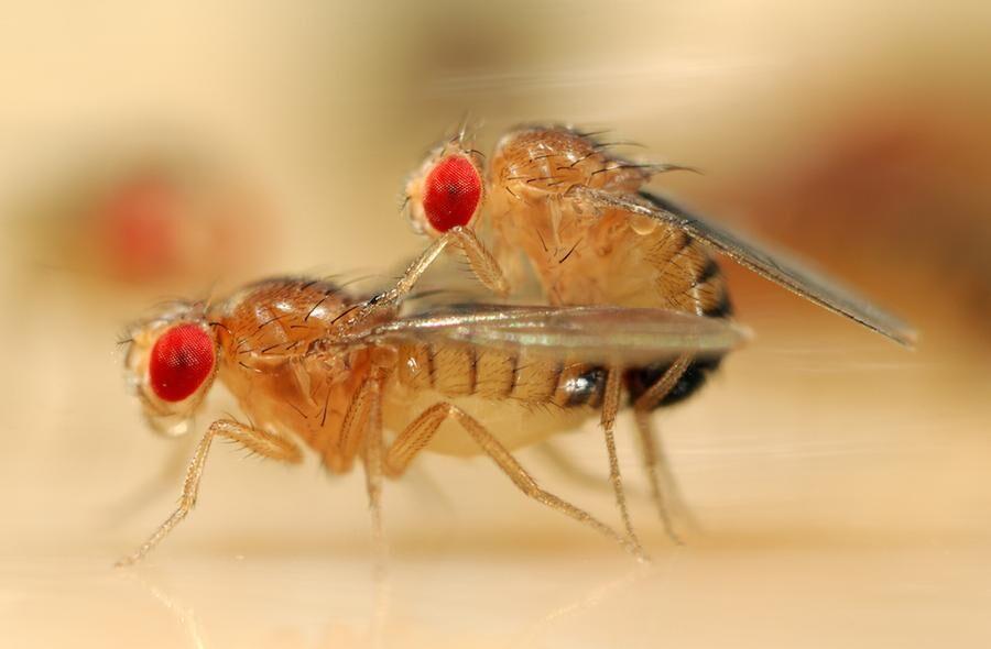 Början på en ny generation fruktflugor.