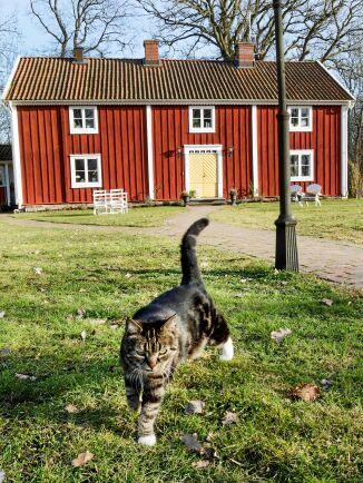 Bondkatten Ceasar njuter av springa fritt på gården.